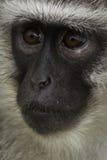 думать обезьяны Стоковая Фотография RF