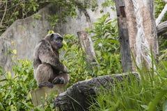 Думать шимпанзе Стоковое Изображение