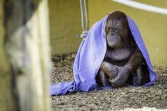 Думать Bornean Orangutam Стоковое Изображение RF