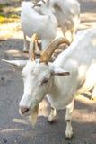 Думая коза спрашивая вам Стоковые Фото