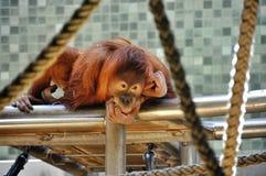 Думая обезьяна Стоковые Изображения RF