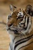 Думая тигр Стоковая Фотография