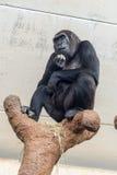 Думая шимпанзе Стоковое Фото