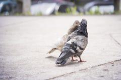 Душа сопрягает целовать голубей Стоковое фото RF