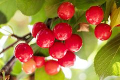 Душистая зрелая сочная вишня на крошечной ветви с зелеными листьями C Стоковые Фотографии RF