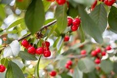 Душистая зрелая сочная вишня на крошечной ветви с зелеными листьями C Стоковые Изображения