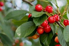 Душистая зрелая сочная вишня на крошечной ветви с зелеными листьями C Стоковое Фото