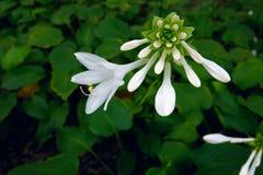 Душистая лилия подорожника Стоковые Фото