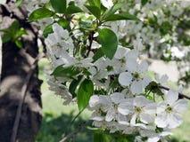 Душистое зацветая вишневое дерево цветет весной Стоковые Изображения RF