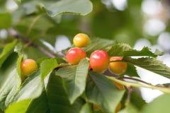 Душистое зрелое сочное веселое на крошечной ветви с зелеными листьями Стоковая Фотография RF