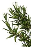 Душистые ветви Rosmarinus Officinalis розмаринового масла с сетью паука на одном из их, белая предпосылка Стоковое Изображение RF