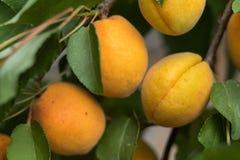 Душистые зрелые сочные абрикосы на ветви с зелеными листьями Стоковая Фотография
