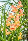Душистые орхидеи, орхидея солнечности Udon Стоковые Изображения RF