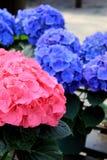 Душистые розовые и голубые гортензии Стоковое Изображение
