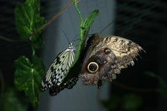 Дуэт бабочек Стоковые Изображения