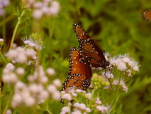 Дуэт бабочки Стоковые Изображения RF