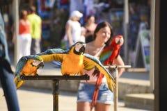 Дуэт variegated оперенных попугаев стоковые изображения rf