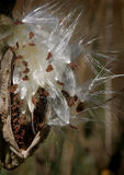 дуя milkweed макроса Стоковые Фото