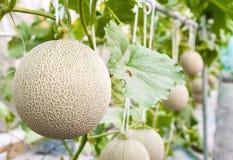 Дыни канталупы растя в парнике поддержанном сетями дыни строки Стоковая Фотография
