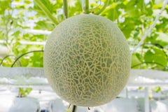 Дыни канталупы растя в парнике Стоковое Фото
