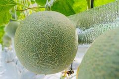 Дыни канталупы растя в парнике Стоковая Фотография RF