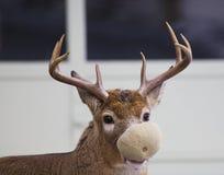 дыня самеца оленя стоковая фотография