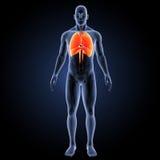 Дыхательная система с каркасным anterior взглядом стоковая фотография rf