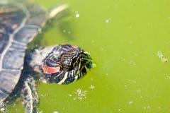 дышая черепаха Стоковая Фотография
