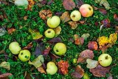 дюйм травы Крыма яблок августовский много один s малая Украина Стоковая Фотография