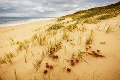 дюна песчаного пляжа с травой Стоковая Фотография RF