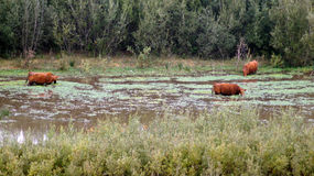Дюны guadalupe-Nipomo, КАЛИФОРНИЯ, СОЕДИНЕННЫЕ ШТАТЫ - 8-ое октября 2014: скотины или корова на туманном утре, причаливают болото Стоковые Изображения RF