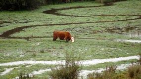 Дюны guadalupe-Nipomo, КАЛИФОРНИЯ, СОЕДИНЕННЫЕ ШТАТЫ - 8-ое октября 2014: скотины или корова на туманном утре, причаливают болото Стоковое Изображение RF