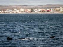 Длина правильного кита Стоковое фото RF