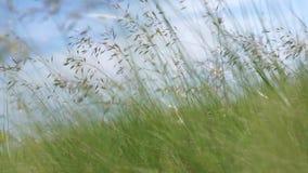Длинная зеленая трава в ветре сток-видео