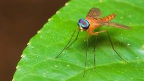 Длинная муха ноги Стоковая Фотография