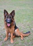 Длинная с волосами собака немецкой овчарки Стоковое Фото