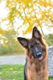 Длинная с волосами собака немецкой овчарки Стоковая Фотография