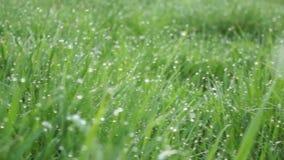 Длинная трава весны подсвеченная Отмелый DOF, запачканная предпосылка, низкий отснятый видеоматериал FHD контраста акции видеоматериалы