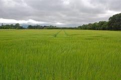 Длинная трава развевая в Ирландии Стоковые Фотографии RF