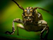 Длинний horned жук Стоковое фото RF