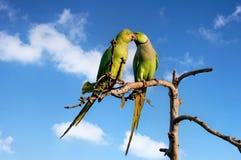 Длиннохвостые попугаи в Индии стоковая фотография