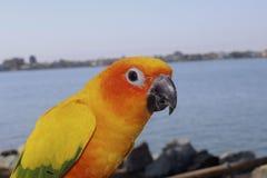 Длиннохвостый попугай апельсина и желтого цвета стоковая фотография rf