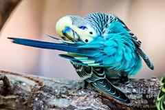 Длиннохвостый попугай волнистого попугайчика сидя на ветви дерева Стоковое фото RF