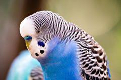 Длиннохвостый попугай волнистого попугайчика сидя на ветви дерева Стоковые Фотографии RF