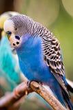 Длиннохвостый попугай волнистого попугайчика сидя на ветви дерева Стоковые Фото