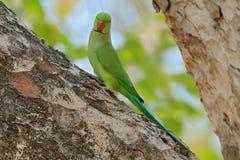 Длиннохвостый попугай гнездиться Роза-окружённый, krameri ожерелового попугая, красивый попугай в среду обитания леса зеленого цв стоковые фотографии rf