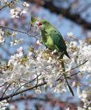 Длиннохвостый попугай кольца necked подавая на вишневых цветах Стоковые Фотографии RF