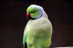 Длиннохвостый попугай кольца-neckend Стоковое Изображение