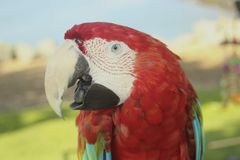 Длиннохвостый попугай красной и белого стоковые изображения rf