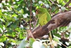 Длиннохвостый попугай на ветви дерева Стоковое Изображение